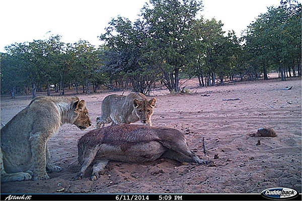 Caught on a camera trap, two young lion cubs that lost their mother, being fed and brought back starvation.
