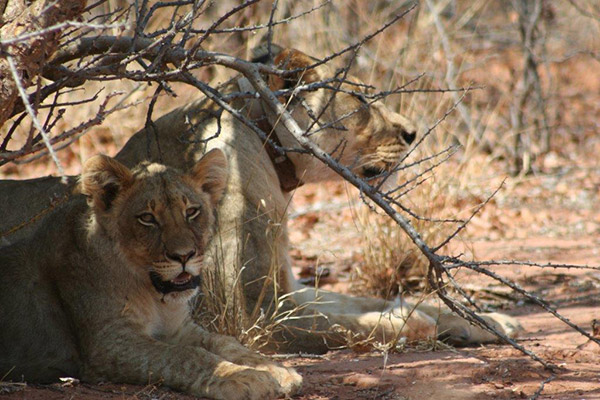 Another lioness easily located with a GPS tracking collar, found resting with her cub in the shade.