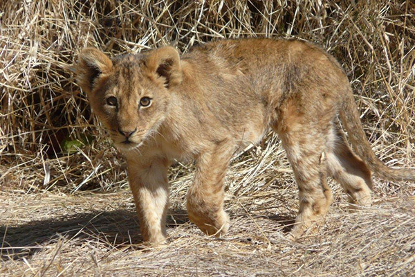 A curious lion cub walking through the long dry grass.