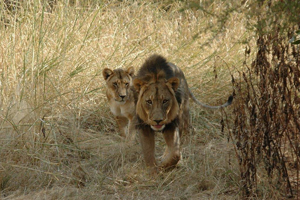 These collard lions are monitored and farmers in the area can see how far they are away from their livestock.