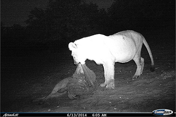 A cub caught on a camera trap eating from a carcass left behind by another predator.