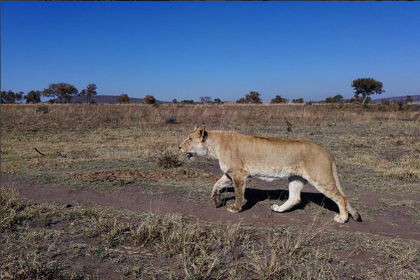 A lioness released into the Kevin Richardson Wildlife Sanctuary.
