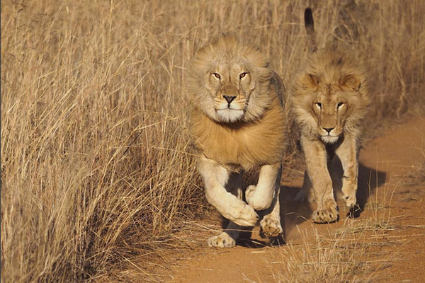 Young lion males playing around freely in the sanctuary.