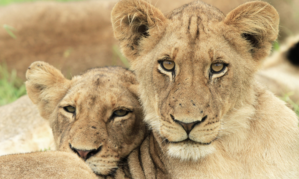 Two lion cubs relocated and released into the wild.