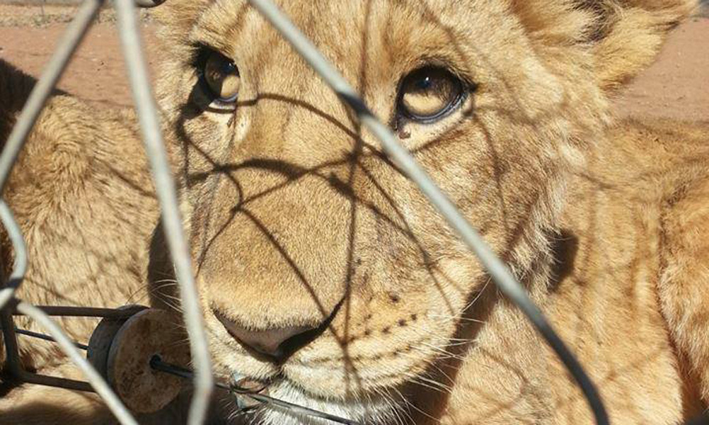 Looking into the eyes of a lion cub desperate to be freed into the wild.