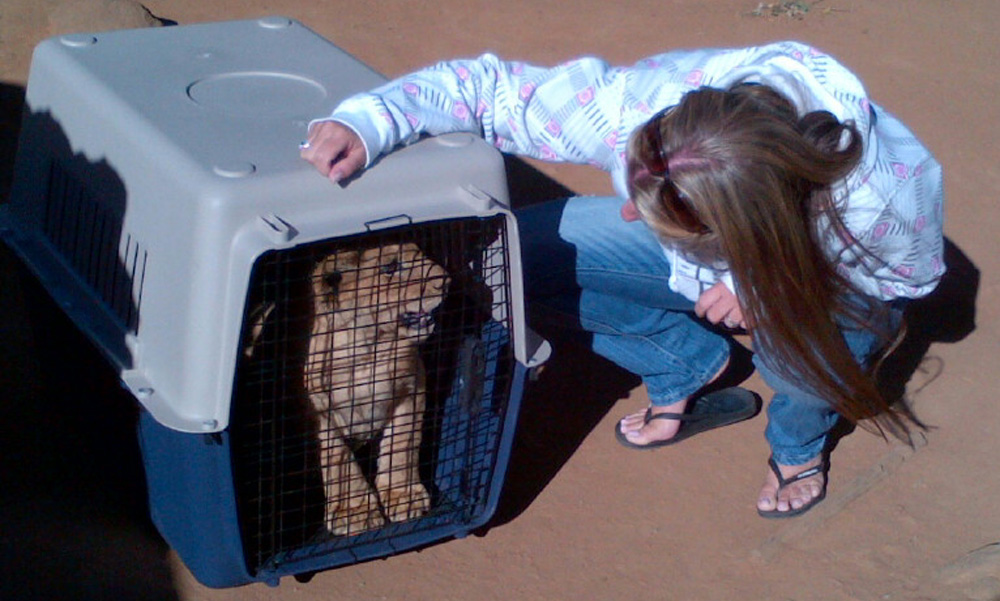 Drew Abrahamson meeting a new lion cub that is being transported in a crate to his new home.