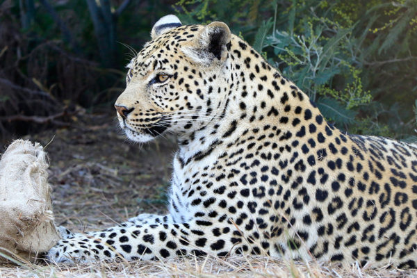 A large leopard enjoying a bit of shade under the trees at the Lionsrock Big Cat Sanctuary.