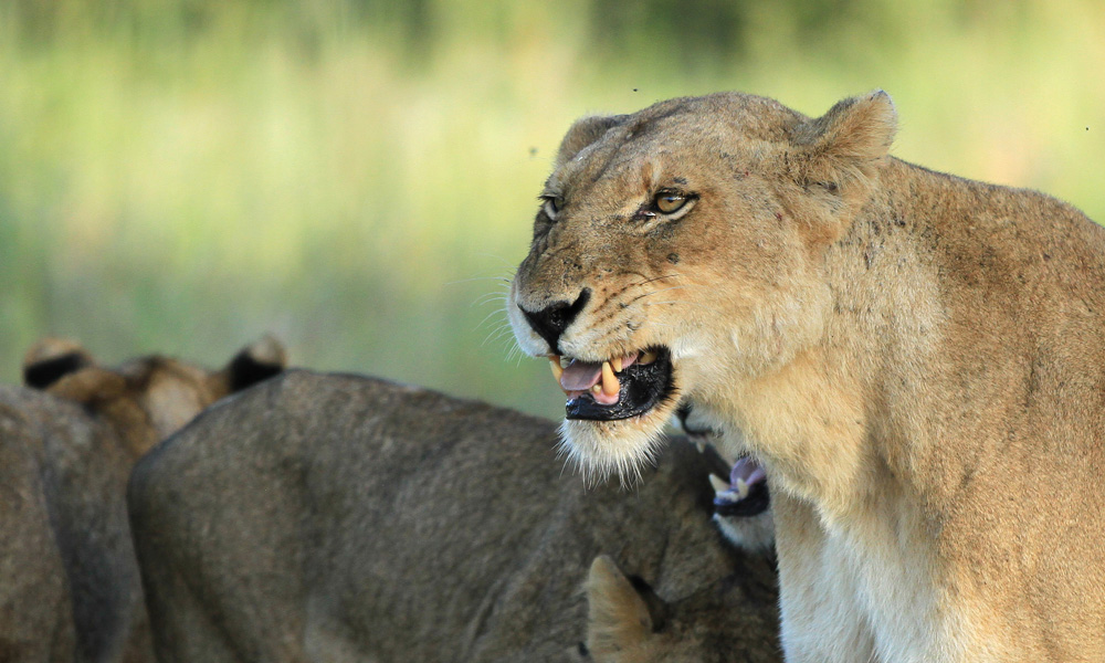 Lionesses providing food for their pride, also protecting their food.