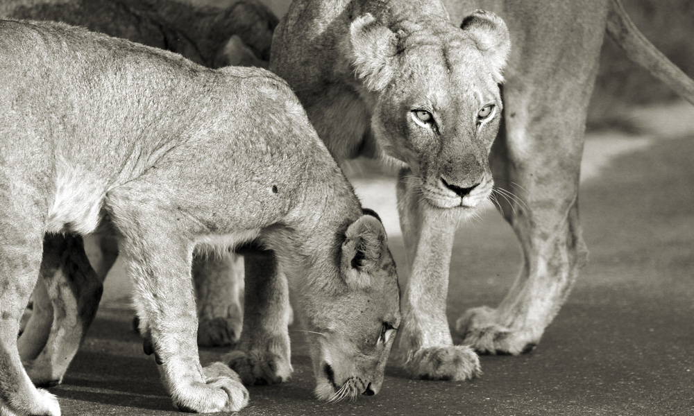 Lionesses teaching the young cubs to hunt.