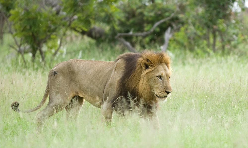 The lion male depends mostly on the lionesses for hunting for the pride, this older lion is out protecting his territory.
