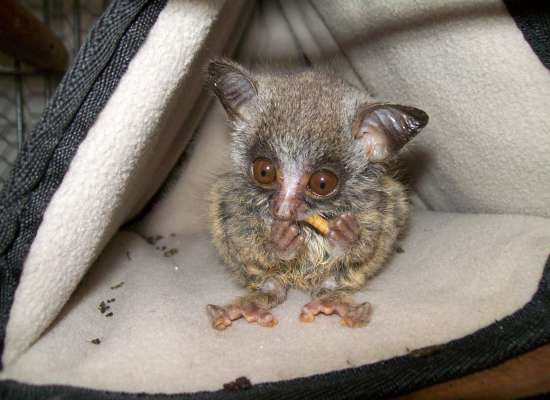 A bush baby being rehabilitated, seen here eating a worm.