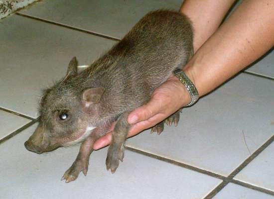 A small wild pig being rehabilitated at Wild for Life.