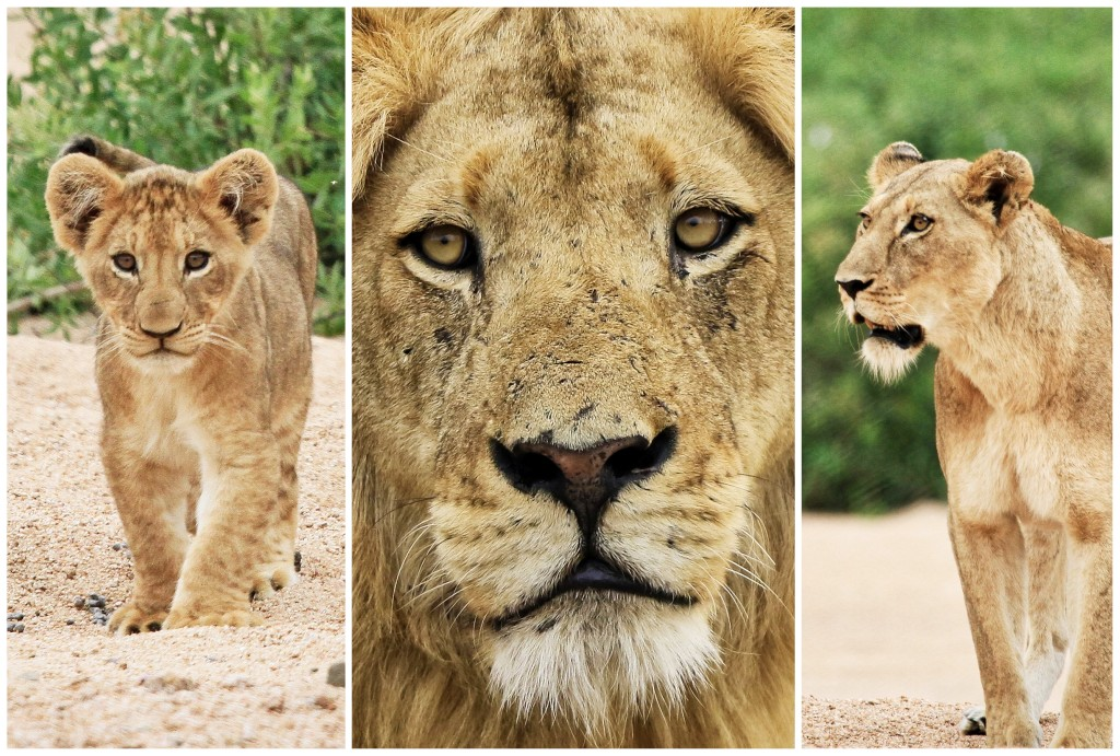 #WORLDLIONDAY PART 1: A Love of Lions – Our Team & Supporters